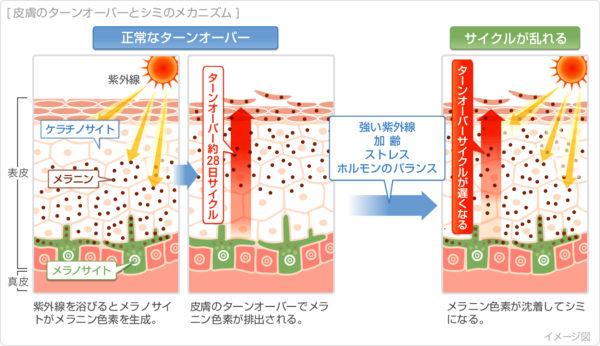 皮膚のターンオーバーとシミのメカニズム